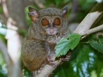 Nejmenší primát světa-nártoun ze Sulawesi
