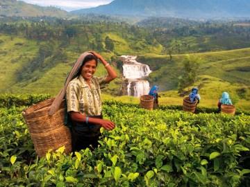 Sběr čaje na plantážích