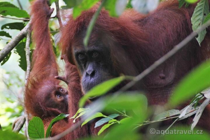 Orangutaní matka s mládětem. NP Gunung Leuser