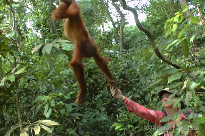 Zvědavý orangutaní kluk z NP Gunung Leuser