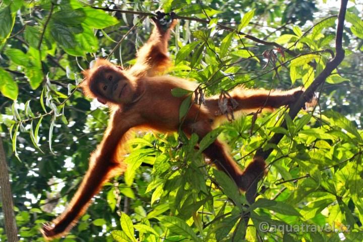 Orangutaní kluk NP Leuser Sumatra