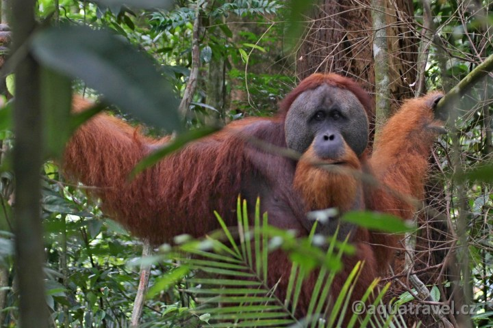 Dospělý orangutaní samec z NP Gunung Leuser
