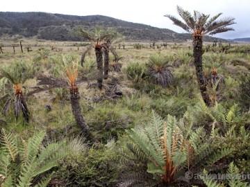 Stromové kapradiny u jezera Habbema. Papua exotické zájezdy
