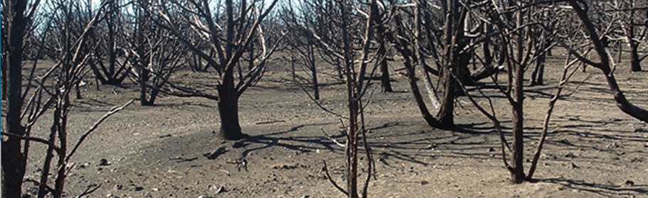 Forest devastated from wild fires