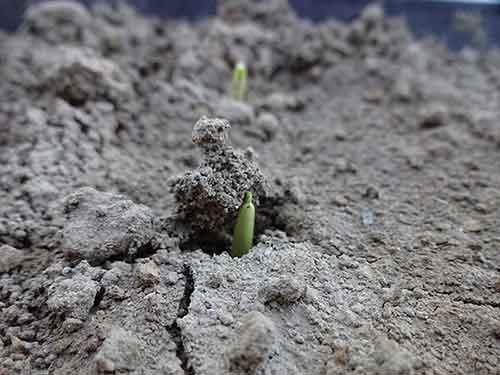 Corn begining to break through the soil