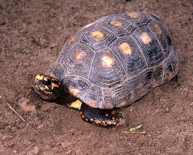 Red-footed Tortoise アカアシガメ