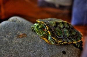 どうなる日本の亀事情?ミドリガメが特定外来生物の候補に!