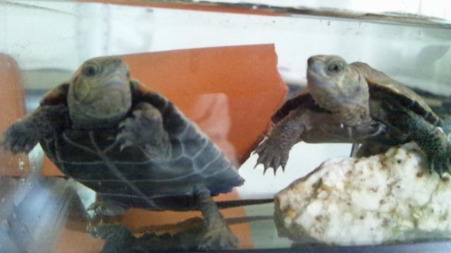 ニホンイシガメの子亀2匹