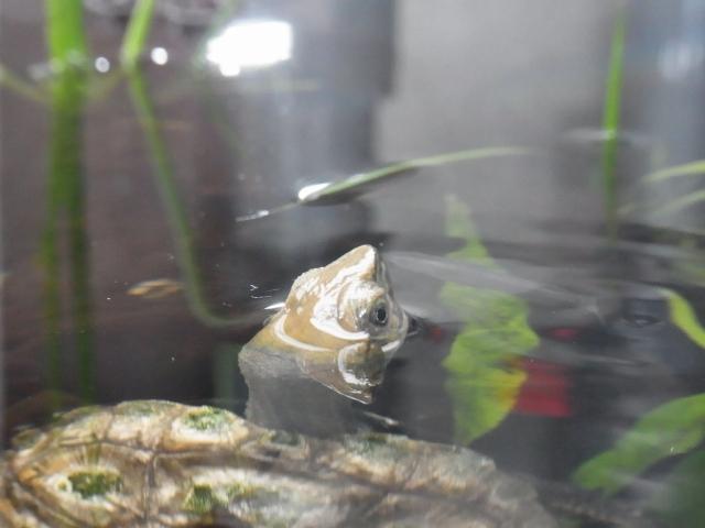 水の中から顔を出すニホンイシガメ