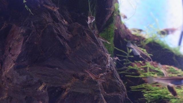 カメ水槽のミナミヌマエビの稚エビとメダカ