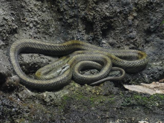 アオダイショウかシマヘビ
