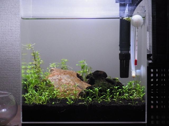 5月26日の20cmキューブ水槽(前面)