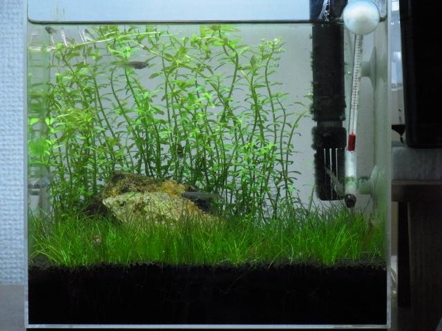 小型水草水槽の繁茂した後景草をトリミングする
