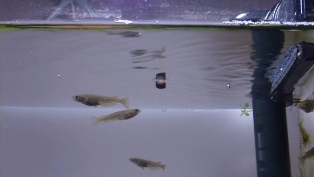 水面を這うように逆さ泳ぎするタニシ