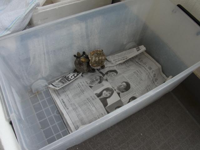 衣装ケースに新聞紙を敷いてベランダでバスキング