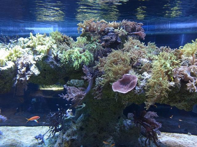 サンゴのレイアウト水槽