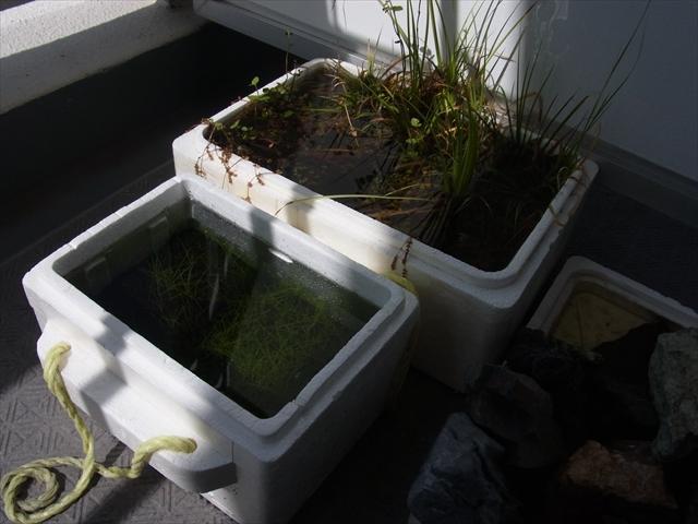 台風のせいで水上葉の栽培容器が水浸しに
