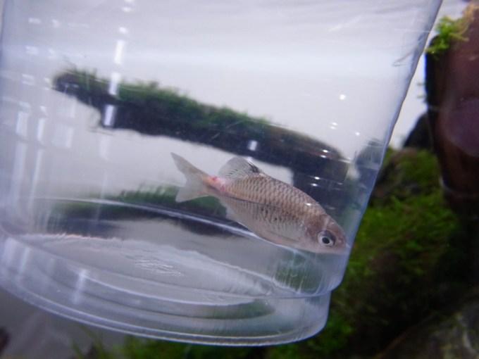 観賞魚のエロモナス感染症(赤斑病)