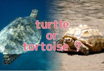 亀の英語表現-turtleとtortoiseの違い・種類別表現