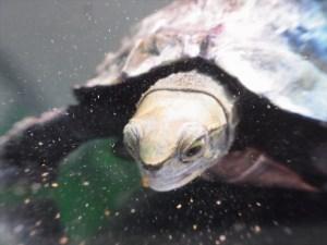 本格的な冬に向けて…ニホンイシガメを久しぶりに観察