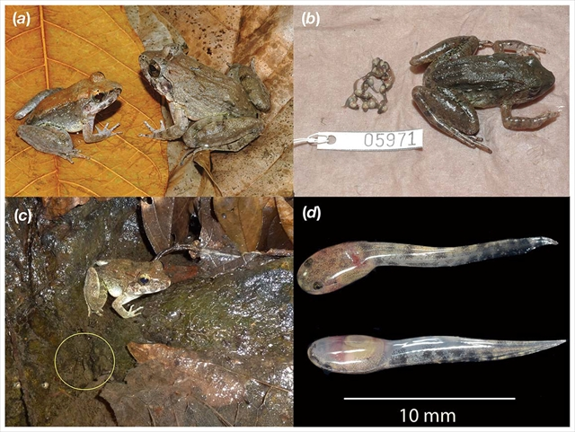 Limnonectes larvaepartus - a fanged frog that gives birth to tadpoles