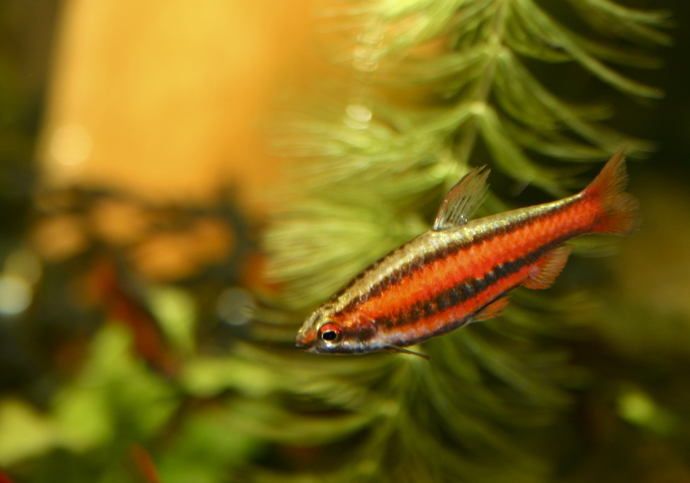 Red Pencilfish