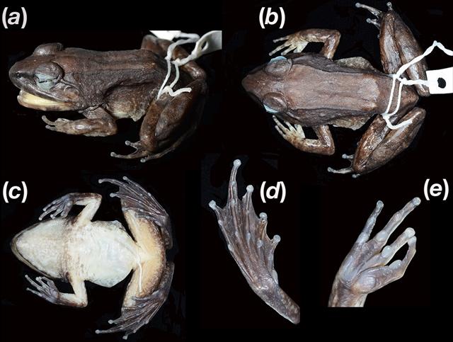 Limnonectes larvaepartus holotype