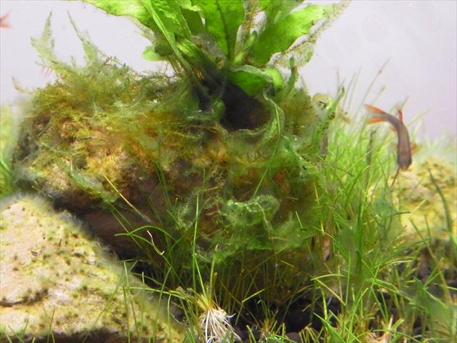 藍藻に侵された20cmキューブ水槽のサムライモス
