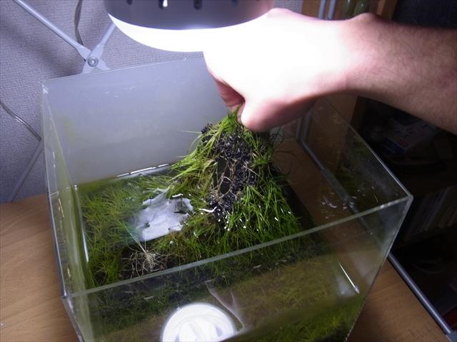熱帯魚水槽リセット-ショートヘアーグラスを引っぺがす