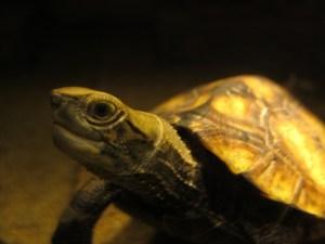 乱獲で壊滅したイシガメ達から学ぶ、動物保護の最低限の知識