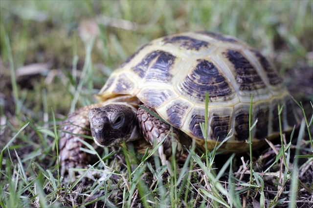 """Photo of a Russian Tortoise named """"Tot"""""""