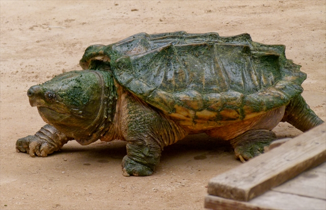 Alligator snapping turtle (Macrochelys temminckii) in the Oasis Park