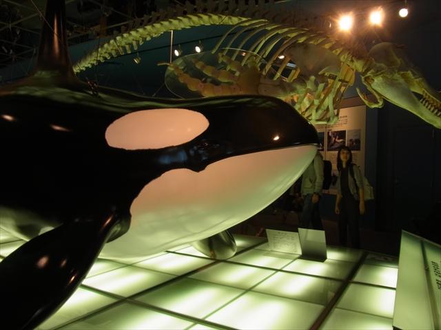 シャチの骨格標本