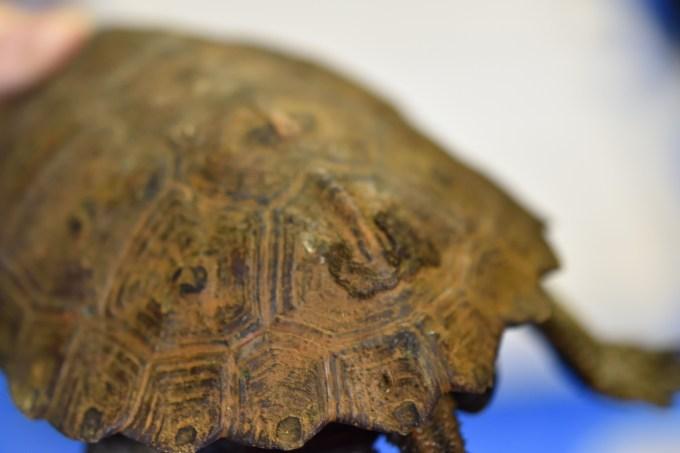 ニホンイシガメの甲羅に産み付けられたヌマビルの仲間の卵