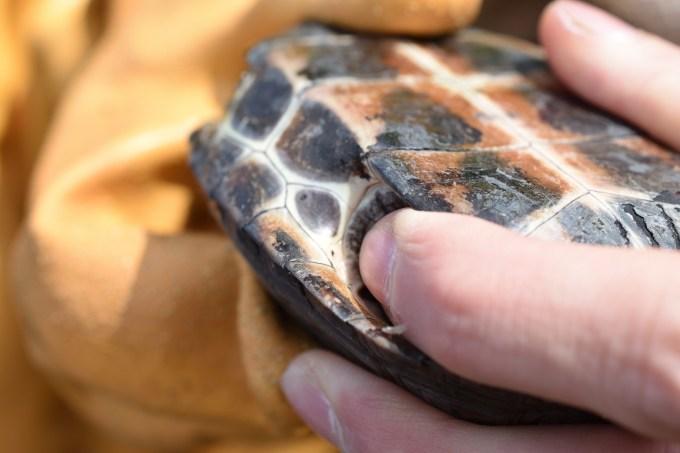 クサガメの臭腺は後ろ足の付け根付近の腹甲側にある