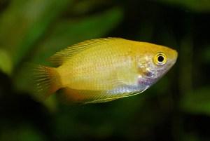 丈夫で鮮やかな熱帯魚!ゴールデンハニードワーフグラミーの飼育と繁殖