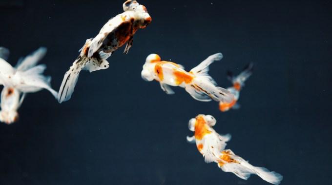 金魚(出目金)