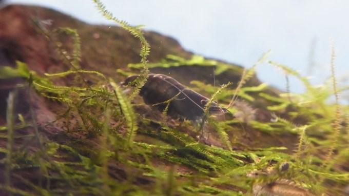 抱卵期間ミナミヌマエビの雌・黒色が濃い個体