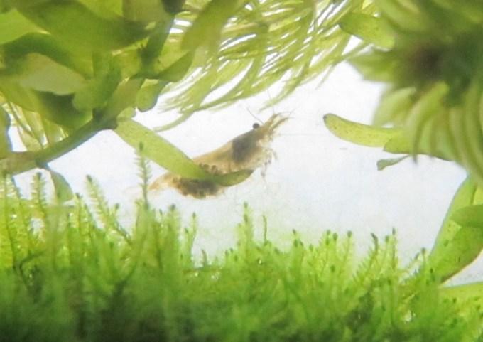 抱卵するミナミヌマエビ