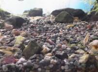 大磯砂とミナミヌマエビ