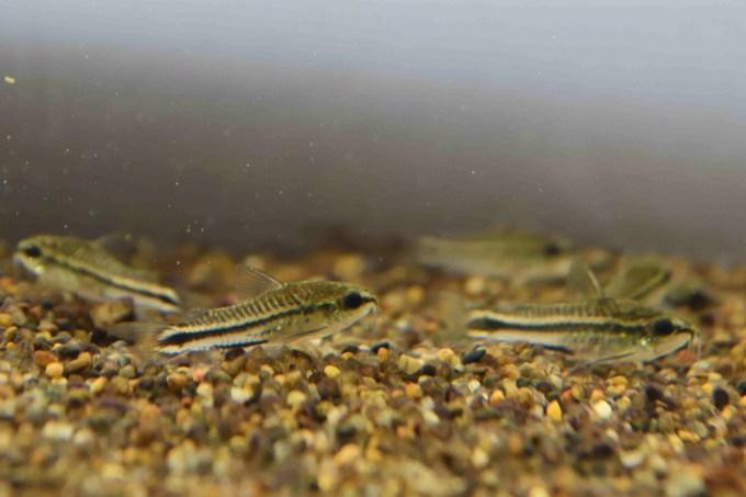 コリドラスピグミー(Corydoras pygmaeus)は水槽内でも群れて集まっていることが多い
