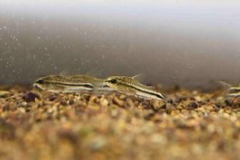 コリドラスピグミーの飼育と混泳:繁殖容易なチビコリの一種