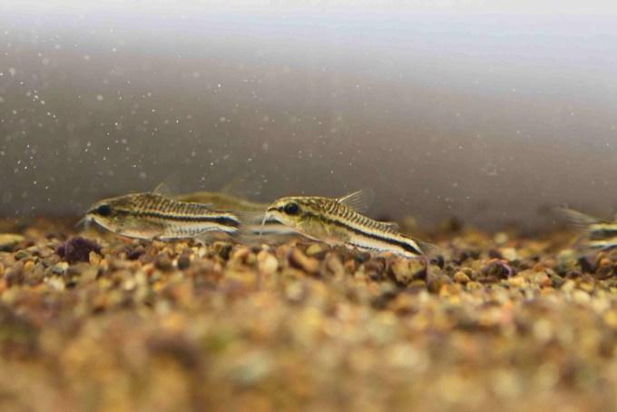 コリドラスピグミー(コリドラス・ピグマエウス) Corydoras pygmaeus
