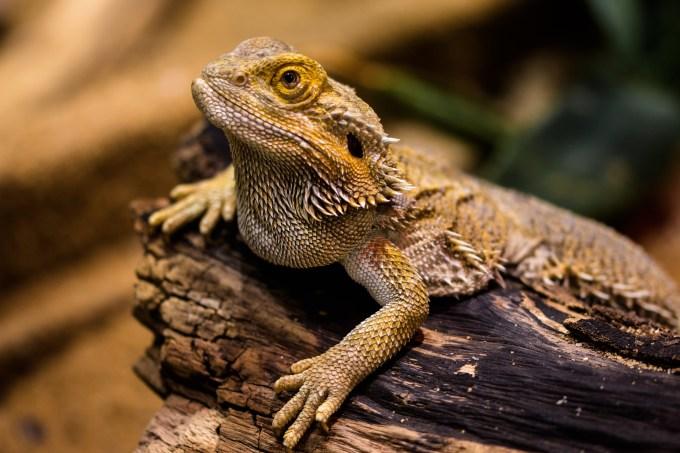 ペットとして人気のトカゲ