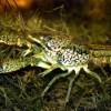 ミステリークレイフィッシュの飼育-1匹で繁殖するザリガニ!?