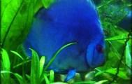 Turquoise Discus