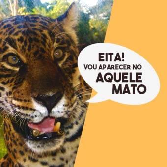 Maior felino das Américas, a onça-pintada do Pantanal