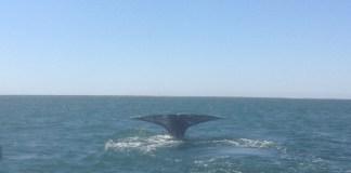 Cola de una ballena en la costa mexicana de Baja California sur