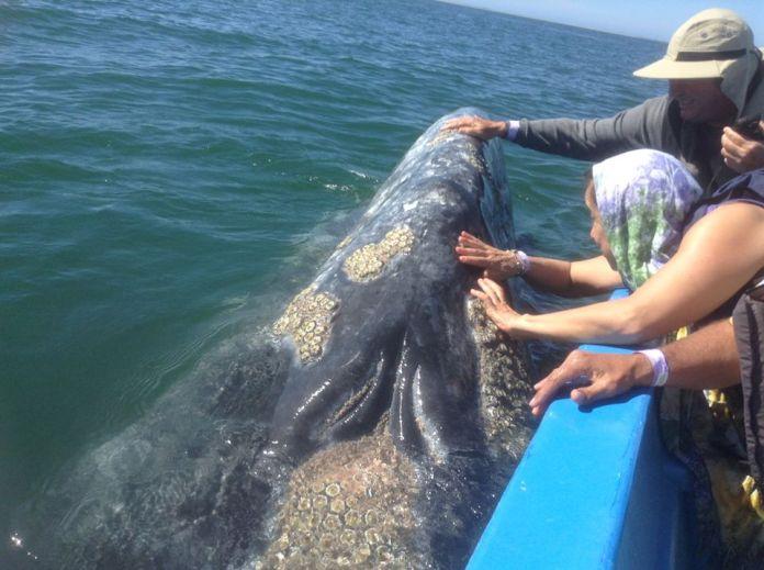 Ballenas se acercan a turistas en la costa mexicana de Baja California sur