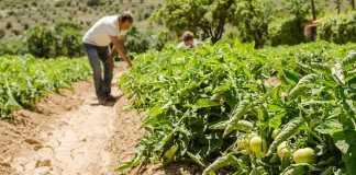 Los agricultores continúan trabajando en el campo